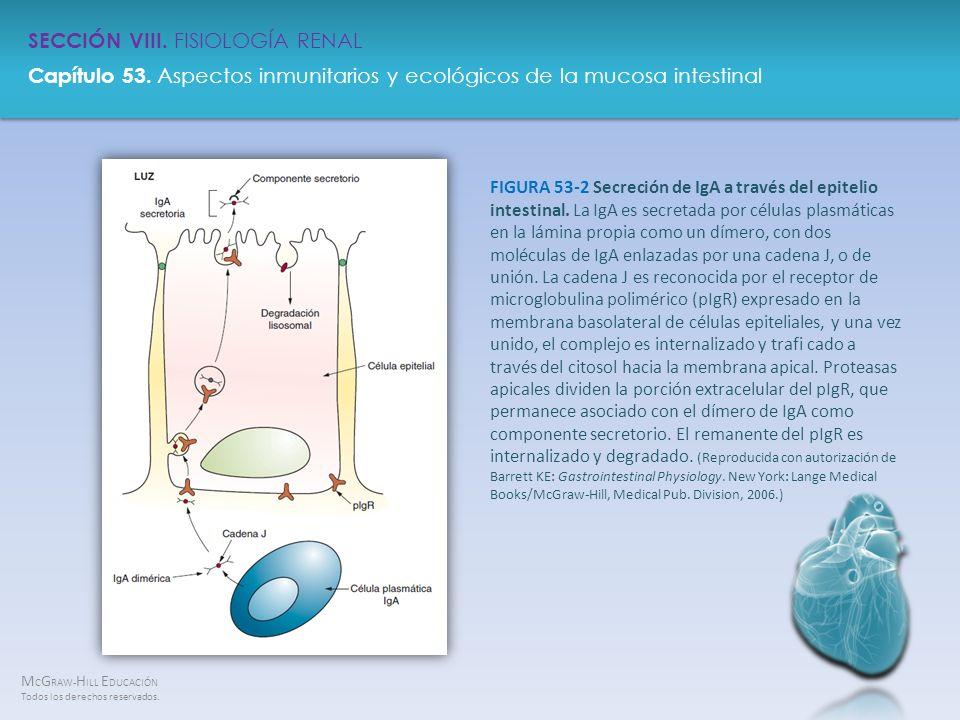 FIGURA 53-2 Secreción de IgA a través del epitelio intestinal