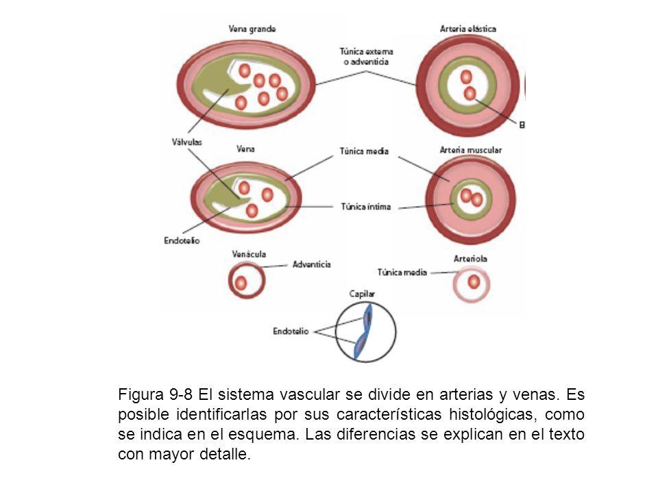 Figura 9-8 El sistema vascular se divide en arterias y venas