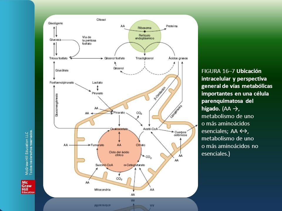 intracelular y perspectiva general de vías metabólicas