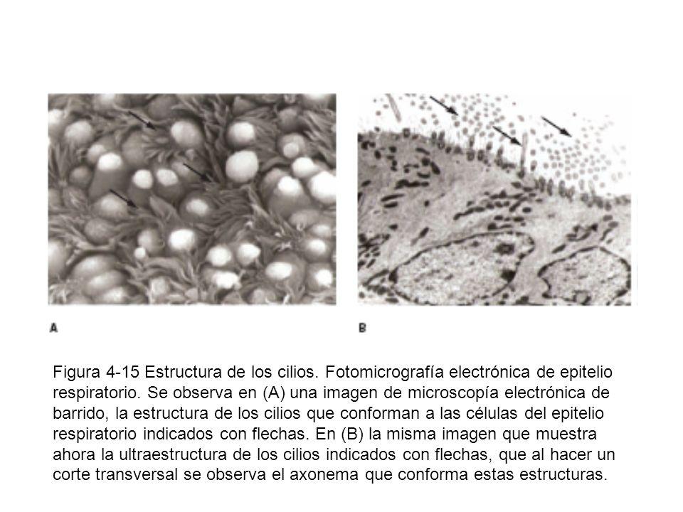 Figura 4-15 Estructura de los cilios