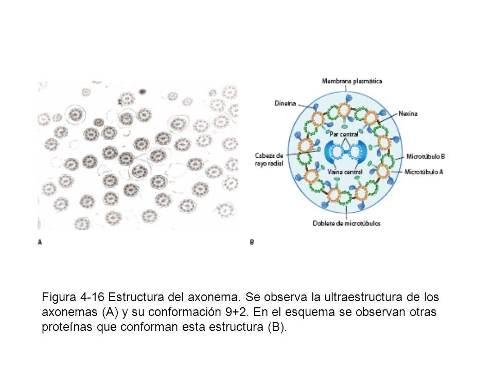 Figura 4-16 Estructura del axonema