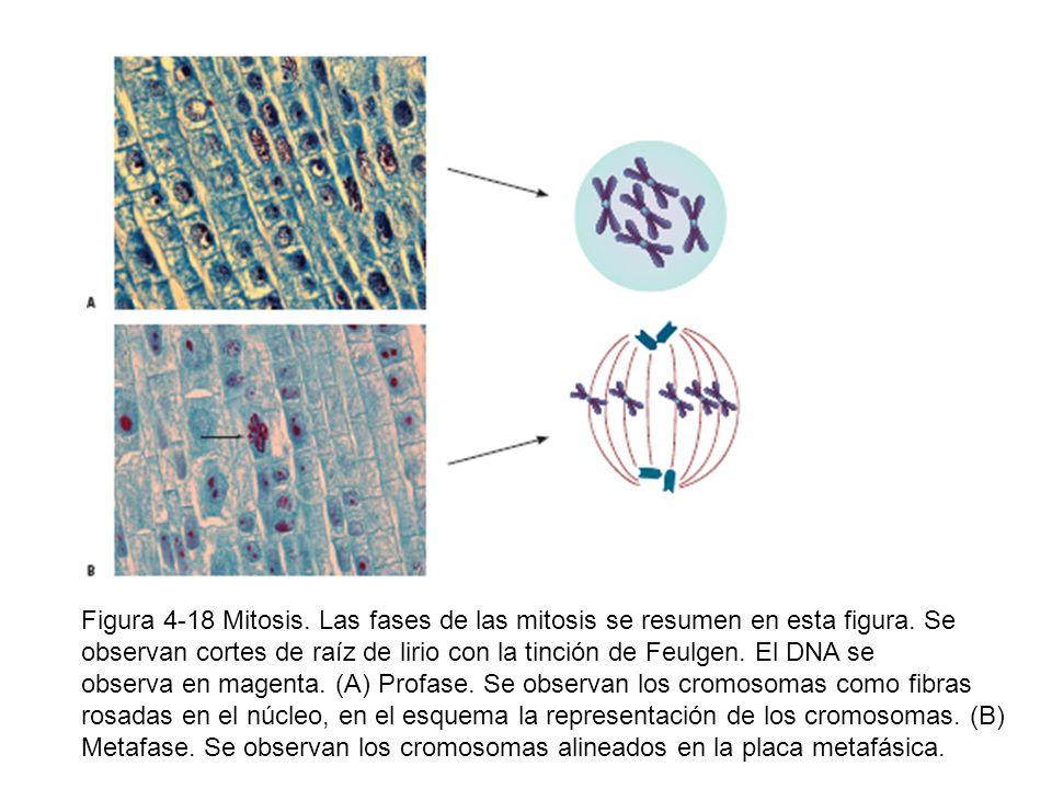 Figura 4-18 Mitosis. Las fases de las mitosis se resumen en esta figura. Se observan cortes de raíz de lirio con la tinción de Feulgen. El DNA se
