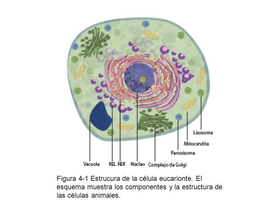Figura 4-1 Estrucura de la célula eucarionte