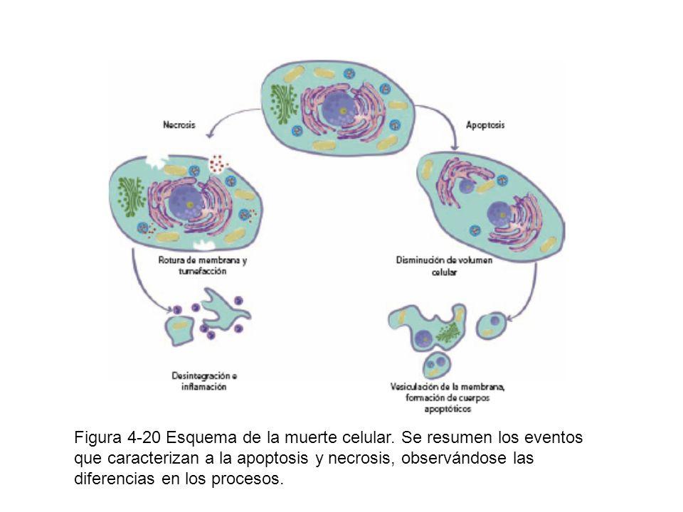 Figura 4-20 Esquema de la muerte celular