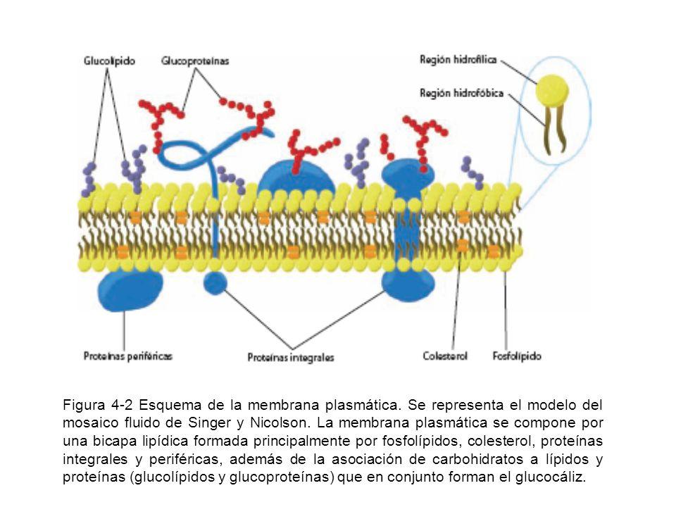 Figura 4-2 Esquema de la membrana plasmática