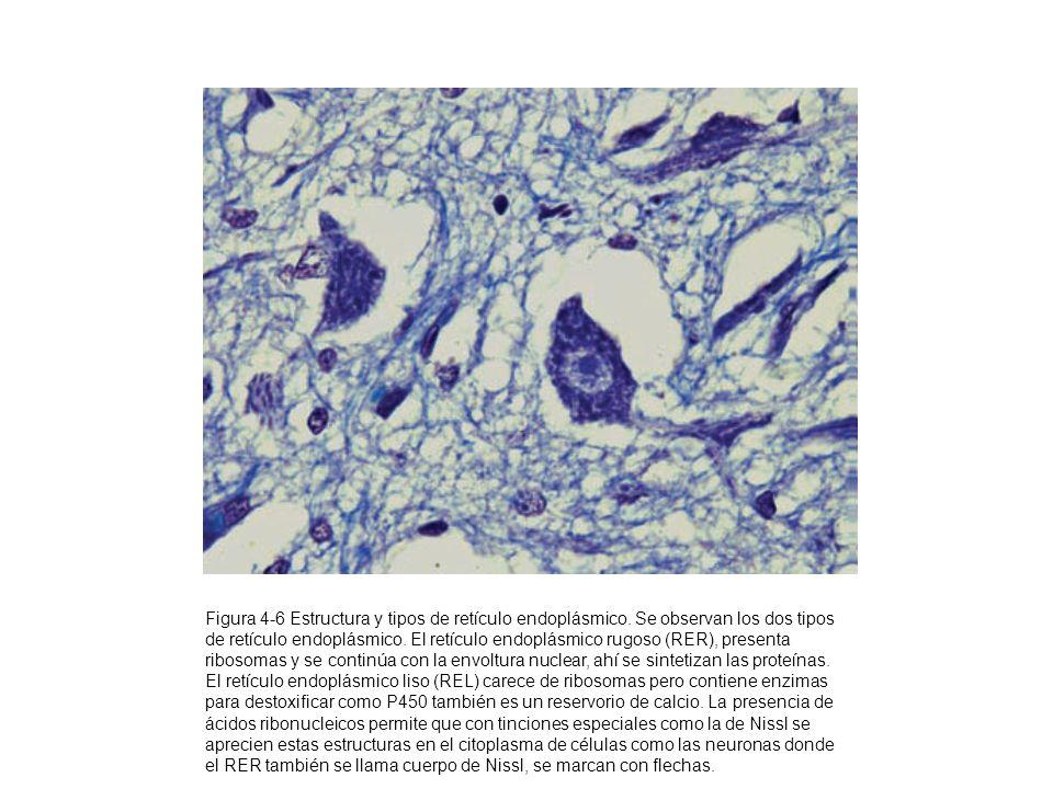 Figura 4-6 Estructura y tipos de retículo endoplásmico