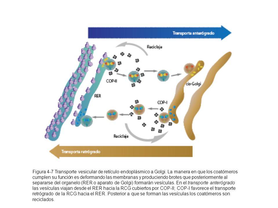 Figura 4-7 Transporte vesicular de retículo endoplásmico a Golgi