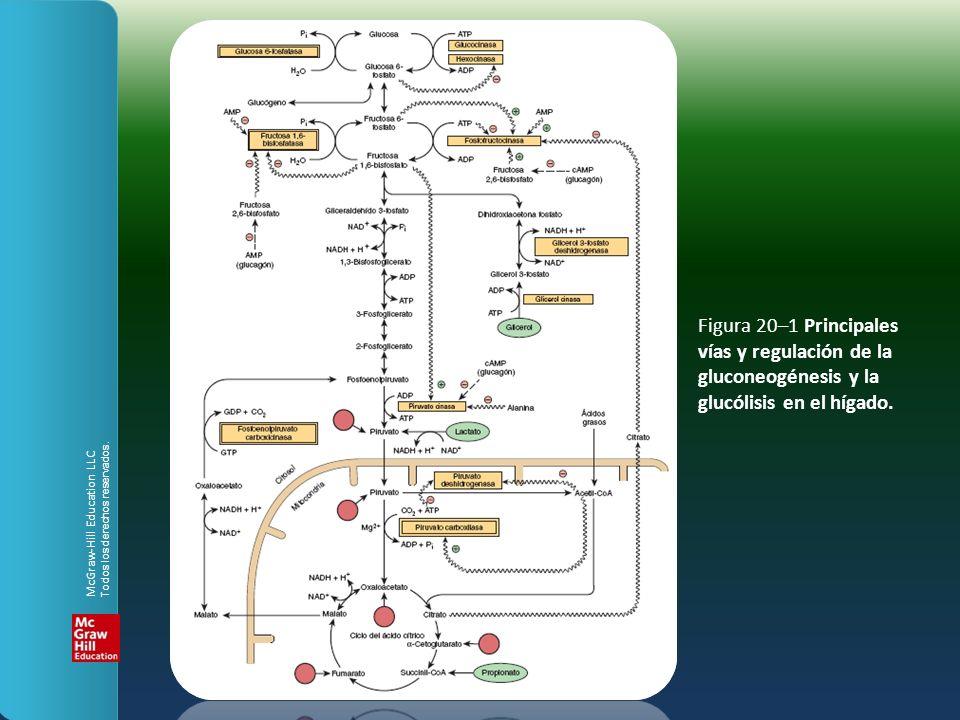 Figura 20–1 Principales vías y regulación de la gluconeogénesis y la glucólisis en el hígado.
