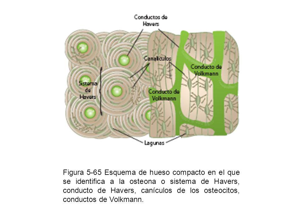 Figura 5-65 Esquema de hueso compacto en el que se identifica a la osteona o sistema de Havers, conducto de Havers, canículos de los osteocitos, conductos de Volkmann.