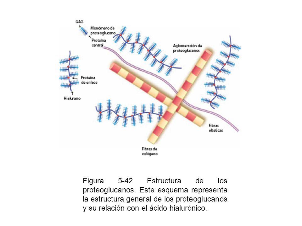Figura 5-42 Estructura de los proteoglucanos