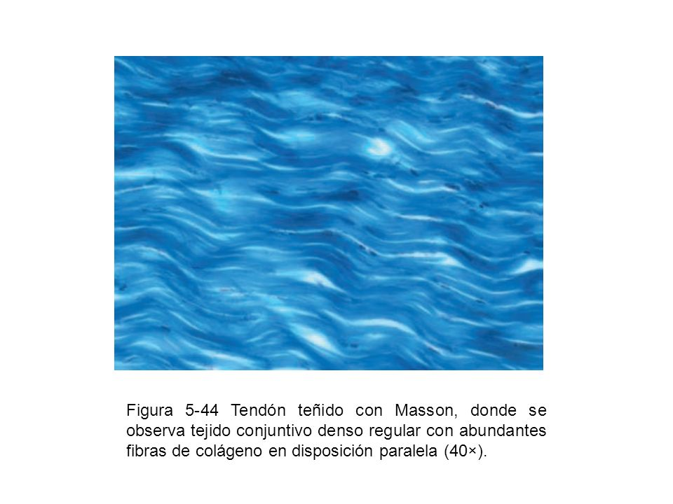 Figura 5-44 Tendón teñido con Masson, donde se observa tejido conjuntivo denso regular con abundantes fibras de colágeno en disposición paralela (40×).