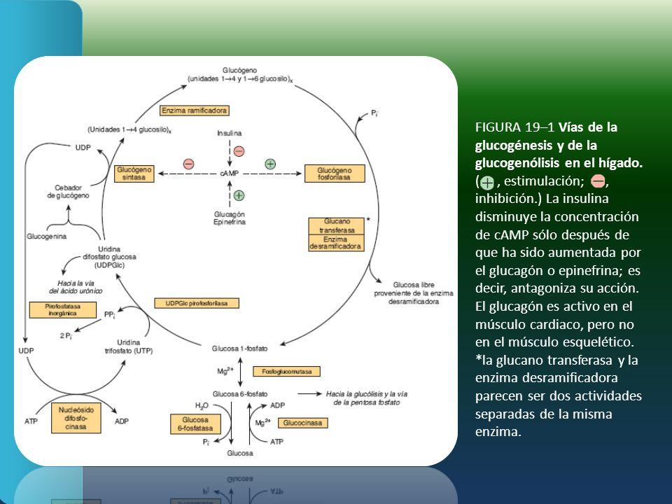 FIGURA 19–1 Vías de la glucogénesis y de la glucogenólisis en el hígado.