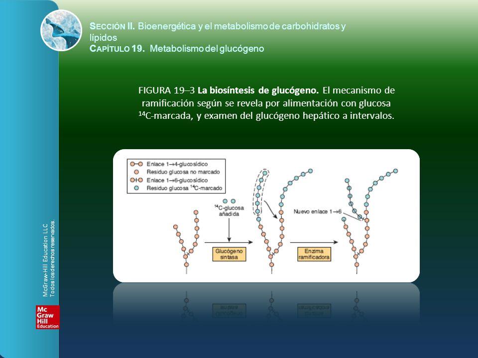 14C-marcada, y examen del glucógeno hepático a intervalos.