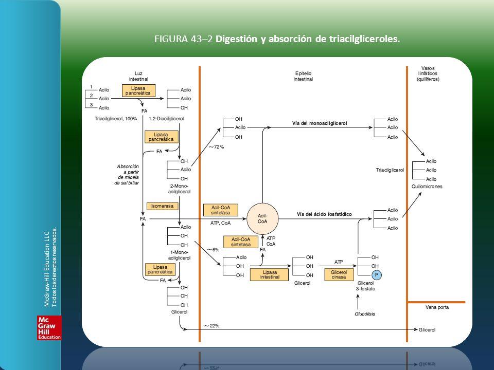 FIGURA 43–2 Digestión y absorción de triacilgliceroles.