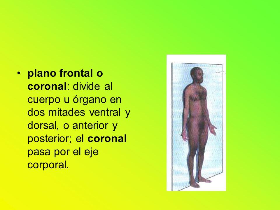 plano frontal o coronal: divide al cuerpo u órgano en dos mitades ventral y dorsal, o anterior y posterior; el coronal pasa por el eje corporal.