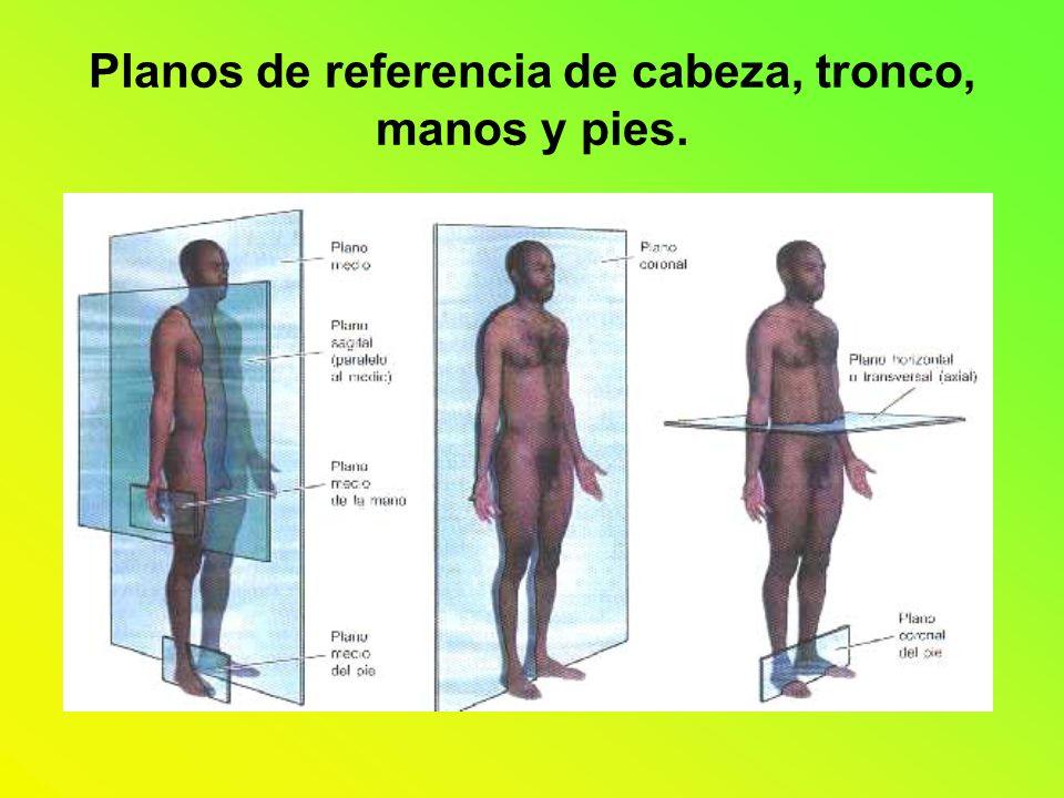 Planos de referencia de cabeza, tronco, manos y pies.
