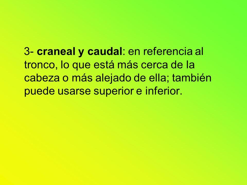 3- craneal y caudal: en referencia al tronco, lo que está más cerca de la cabeza o más alejado de ella; también puede usarse superior e inferior.