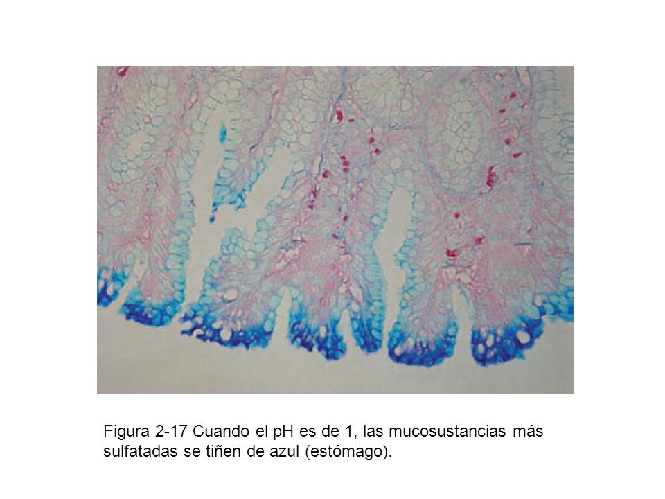 Figura 2-17 Cuando el pH es de 1, las mucosustancias más sulfatadas se tiñen de azul (estómago).
