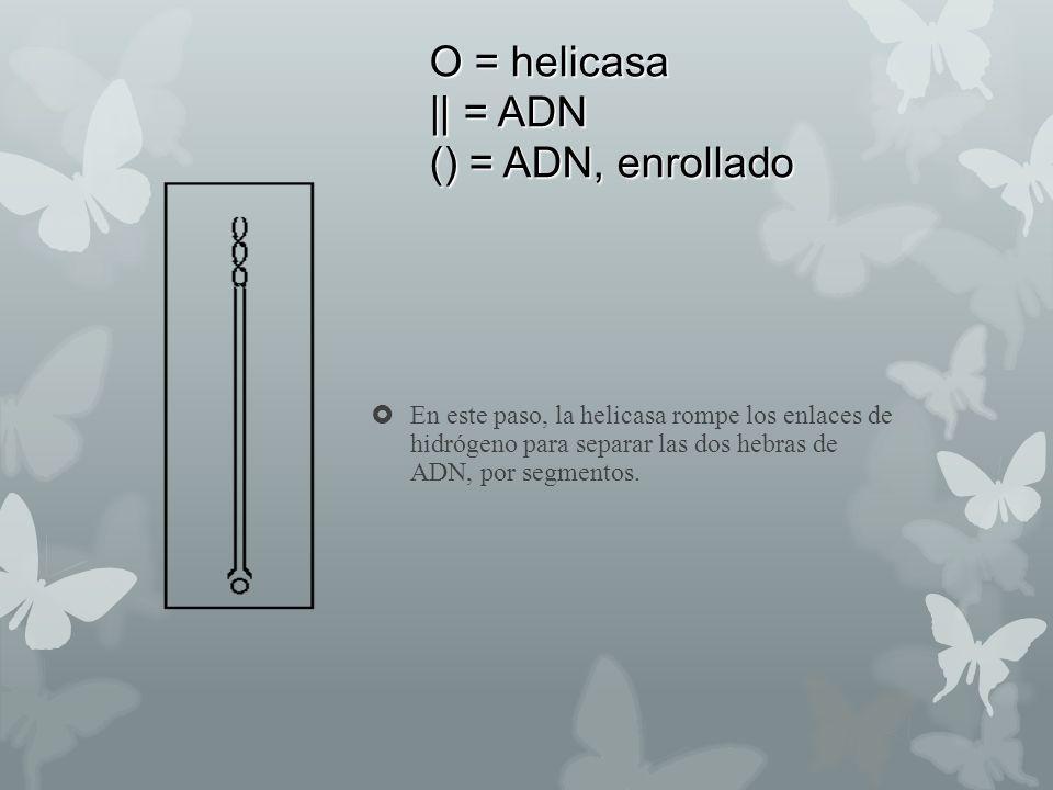 O = helicasa || = ADN () = ADN, enrollado