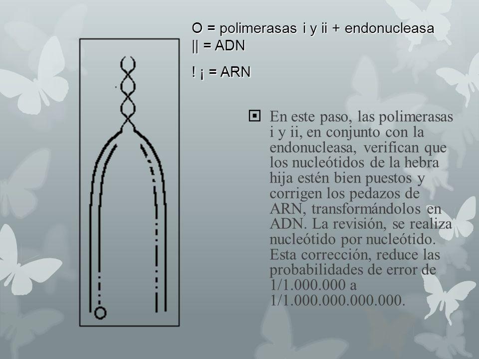 O = polimerasas i y ii + endonucleasa || = ADN ! ¡ = ARN