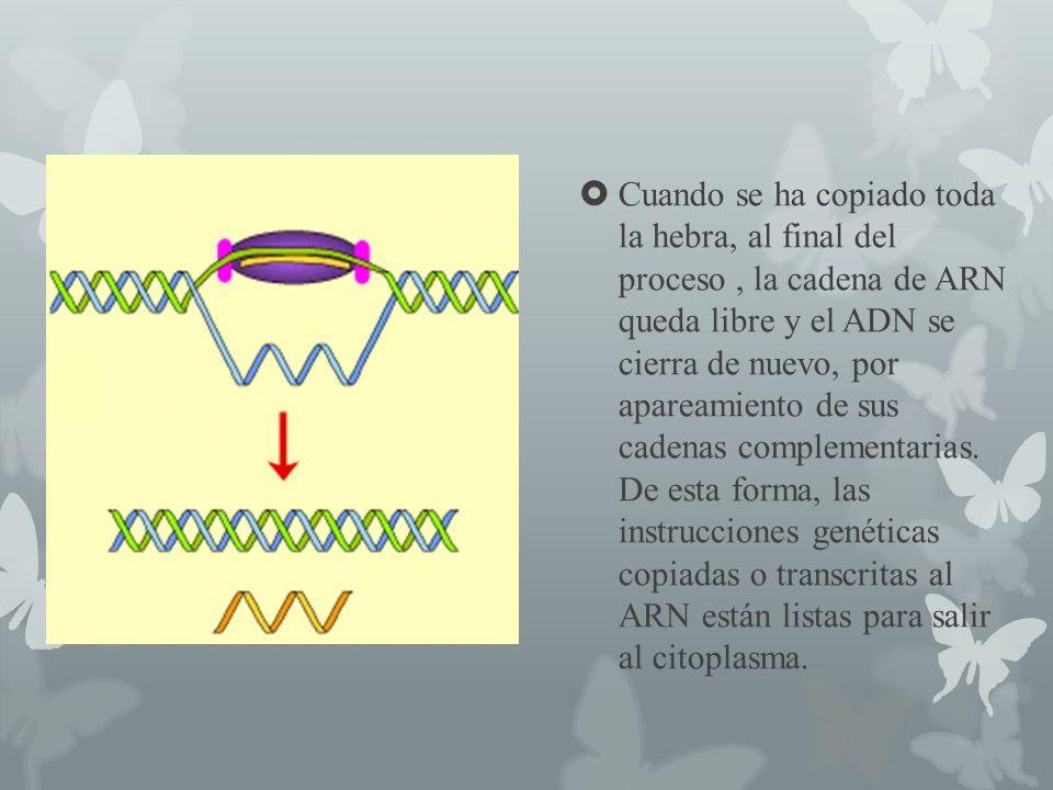 Cuando se ha copiado toda la hebra, al final del proceso , la cadena de ARN queda libre y el ADN se cierra de nuevo, por apareamiento de sus cadenas complementarias.