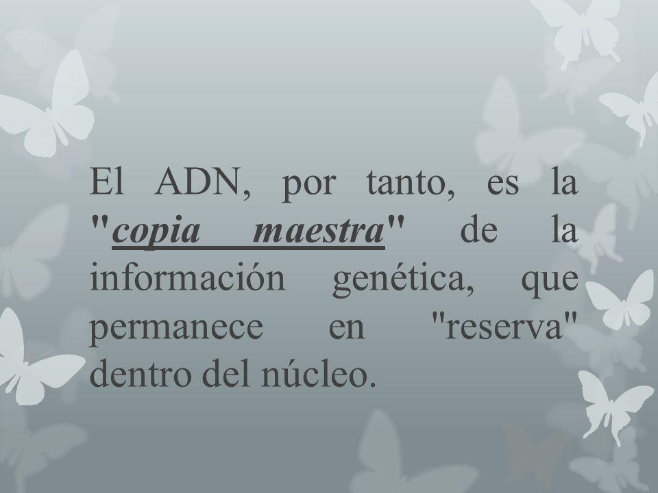 El ADN, por tanto, es la copia maestra de la información genética, que permanece en reserva dentro del núcleo.