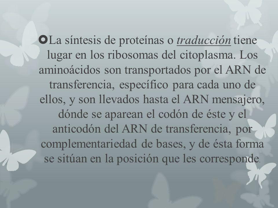La síntesis de proteínas o traducción tiene lugar en los ribosomas del citoplasma.