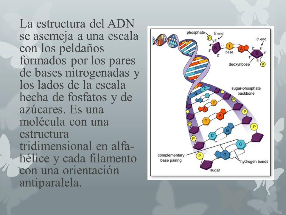 La estructura del ADN se asemeja a una escala con los peldaños formados por los pares de bases nitrogenadas y los lados de la escala hecha de fosfatos y de azúcares.