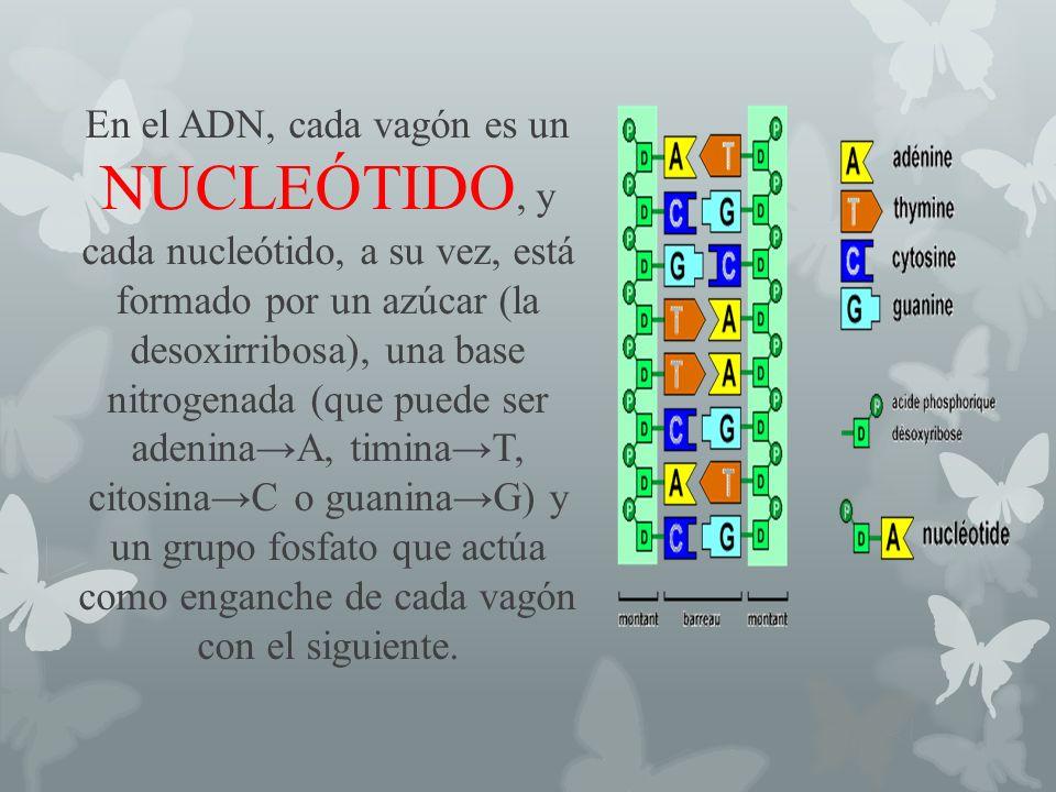 En el ADN, cada vagón es un NUCLEÓTIDO, y cada nucleótido, a su vez, está formado por un azúcar (la desoxirribosa), una base nitrogenada (que puede ser adenina→A, timina→T, citosina→C o guanina→G) y un grupo fosfato que actúa como enganche de cada vagón con el siguiente.