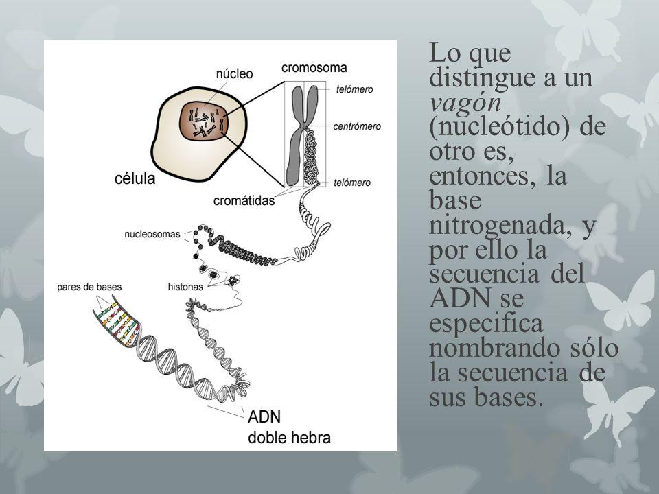 Lo que distingue a un vagón (nucleótido) de otro es, entonces, la base nitrogenada, y por ello la secuencia del ADN se especifica nombrando sólo la secuencia de sus bases.