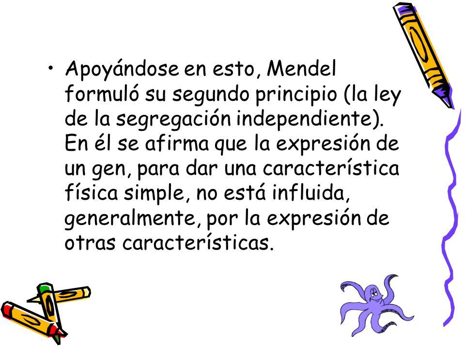 Apoyándose en esto, Mendel formuló su segundo principio (la ley de la segregación independiente).