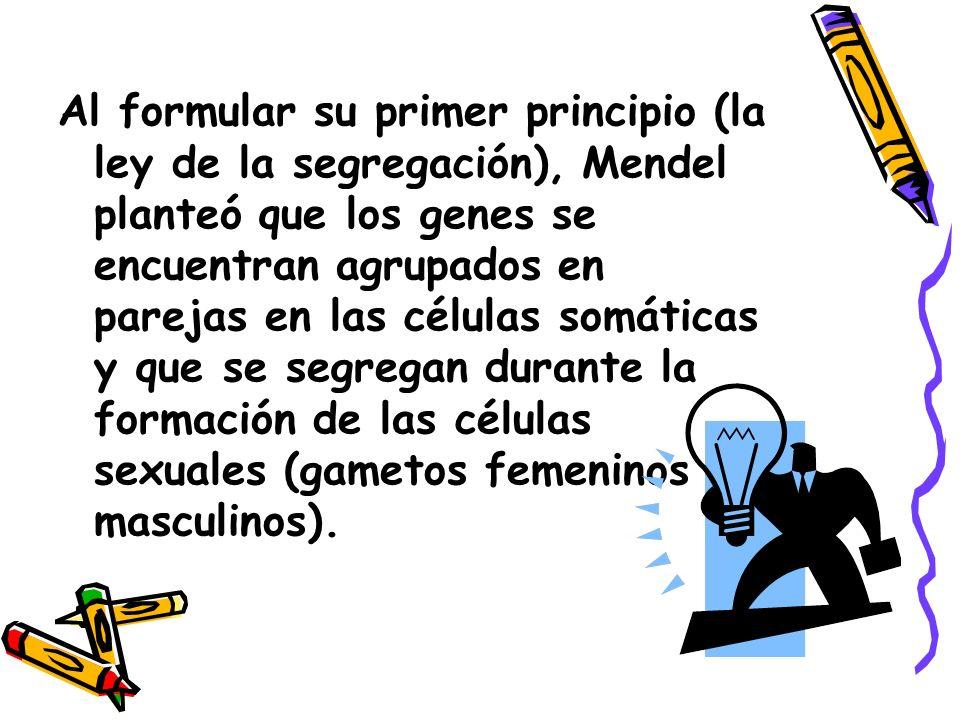 Al formular su primer principio (la ley de la segregación), Mendel planteó que los genes se encuentran agrupados en parejas en las células somáticas y que se segregan durante la formación de las células sexuales (gametos femeninos o masculinos).