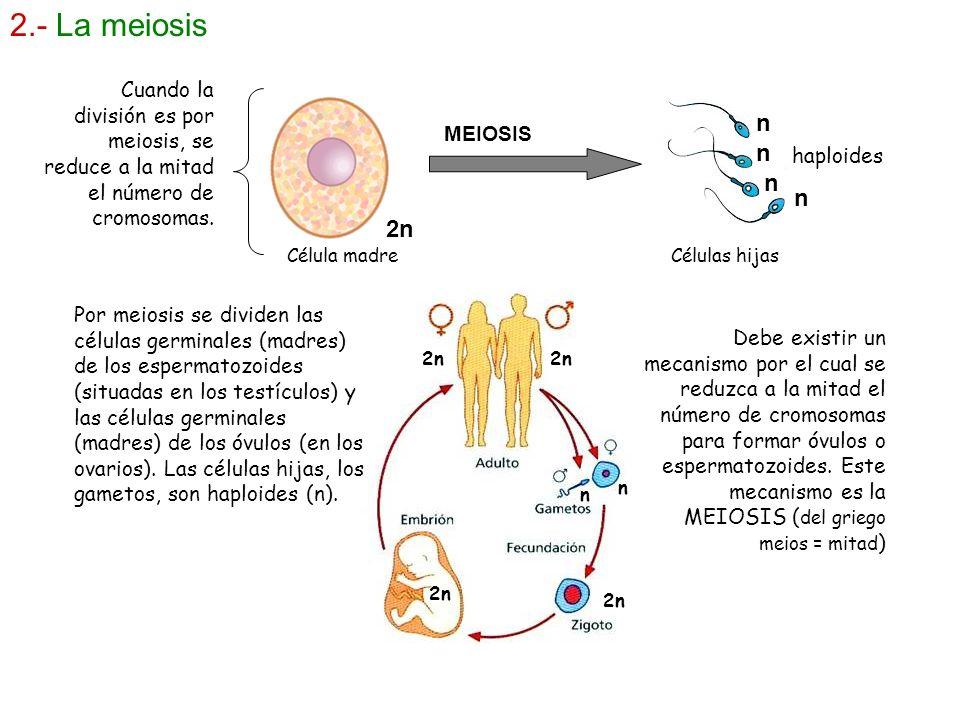 2.- La meiosis Cuando la división es por meiosis, se reduce a la mitad el número de cromosomas. n.