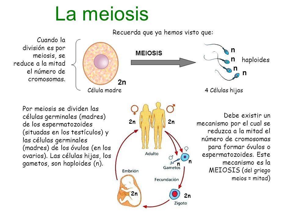 La meiosis n n n n 2n Recuerda que ya hemos visto que: