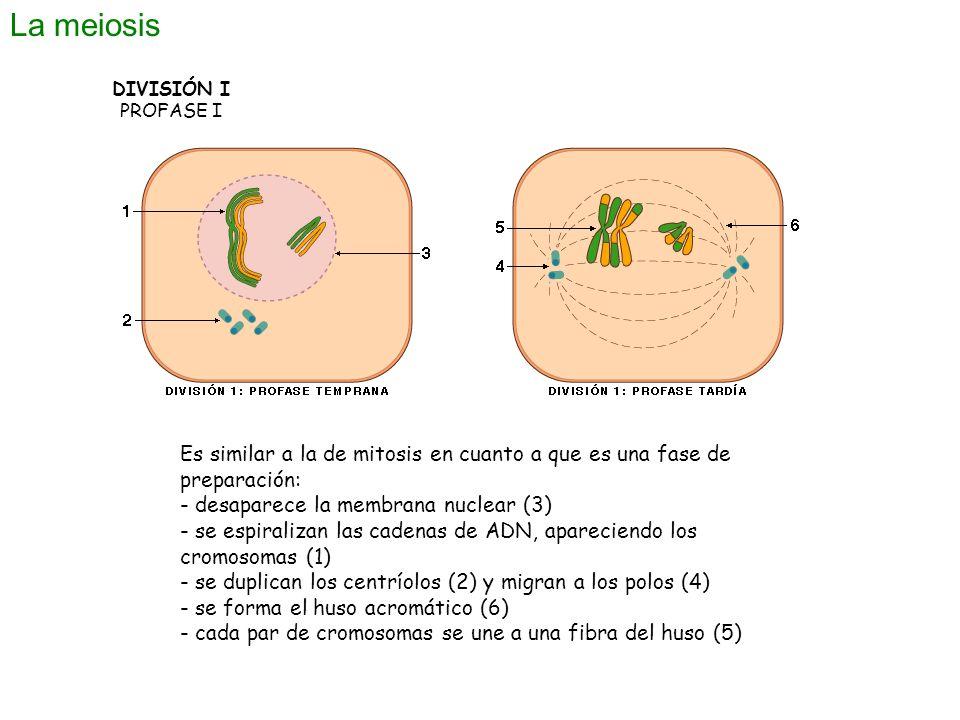 La meiosis DIVISIÓN I. PROFASE I. Es similar a la de mitosis en cuanto a que es una fase de preparación: