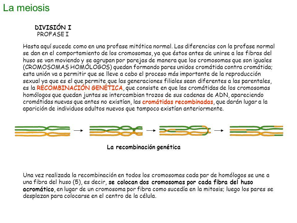 La meiosis DIVISIÓN I PROFASE I