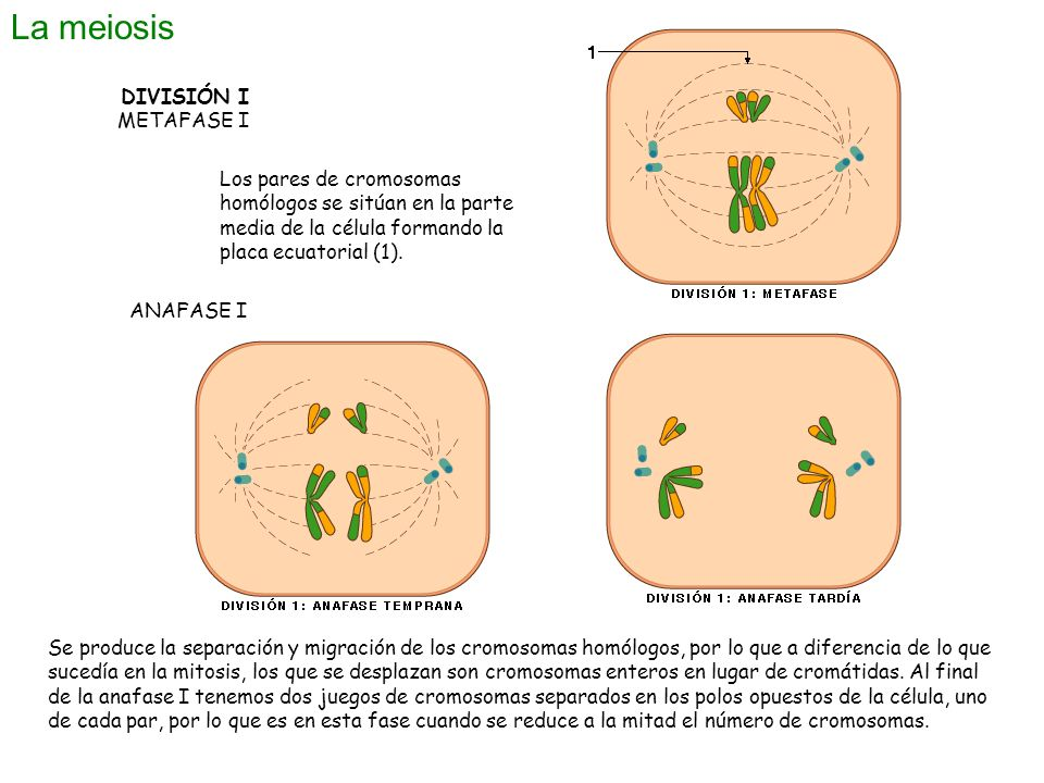 La meiosis DIVISIÓN I METAFASE I