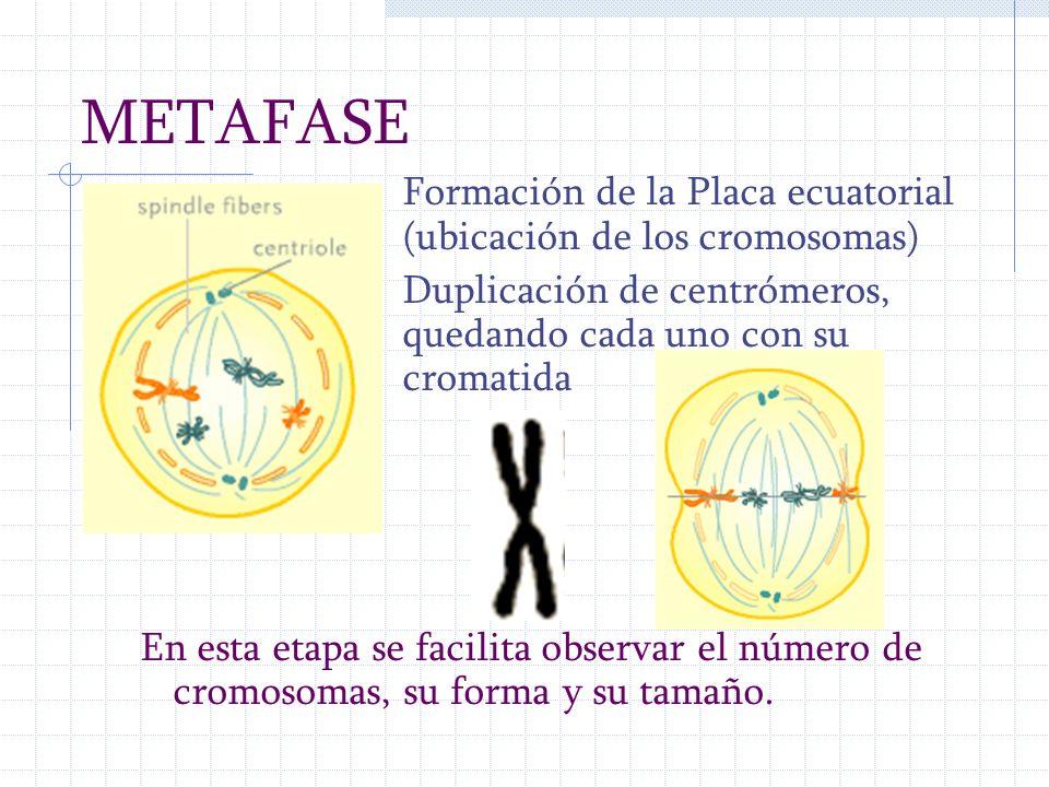 METAFASE Formación de la Placa ecuatorial (ubicación de los cromosomas) Duplicación de centrómeros, quedando cada uno con su cromatida.