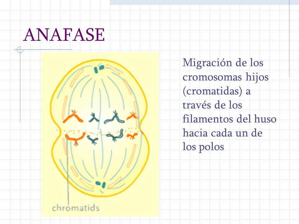 ANAFASE Migración de los cromosomas hijos (cromatidas) a través de los filamentos del huso hacia cada un de los polos.