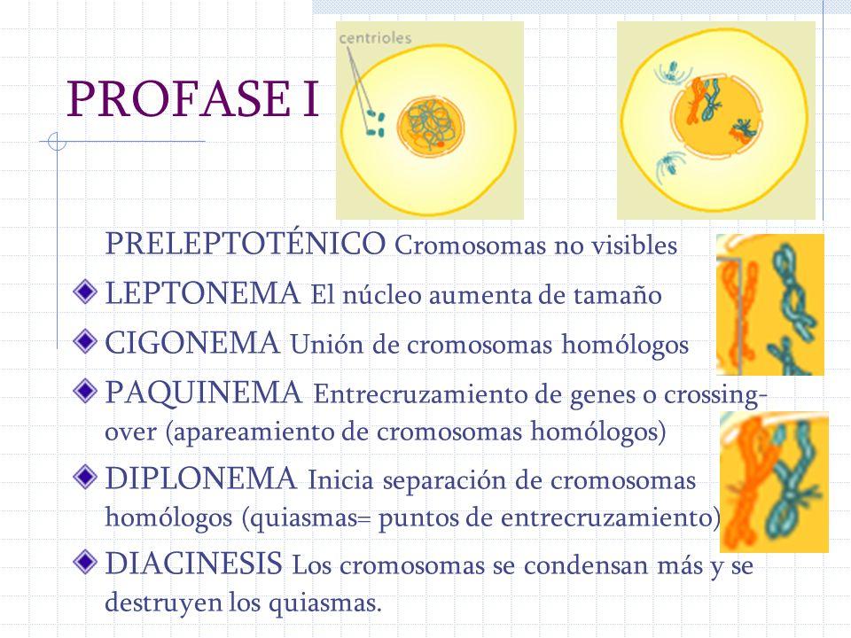 PROFASE I PRELEPTOTÉNICO Cromosomas no visibles