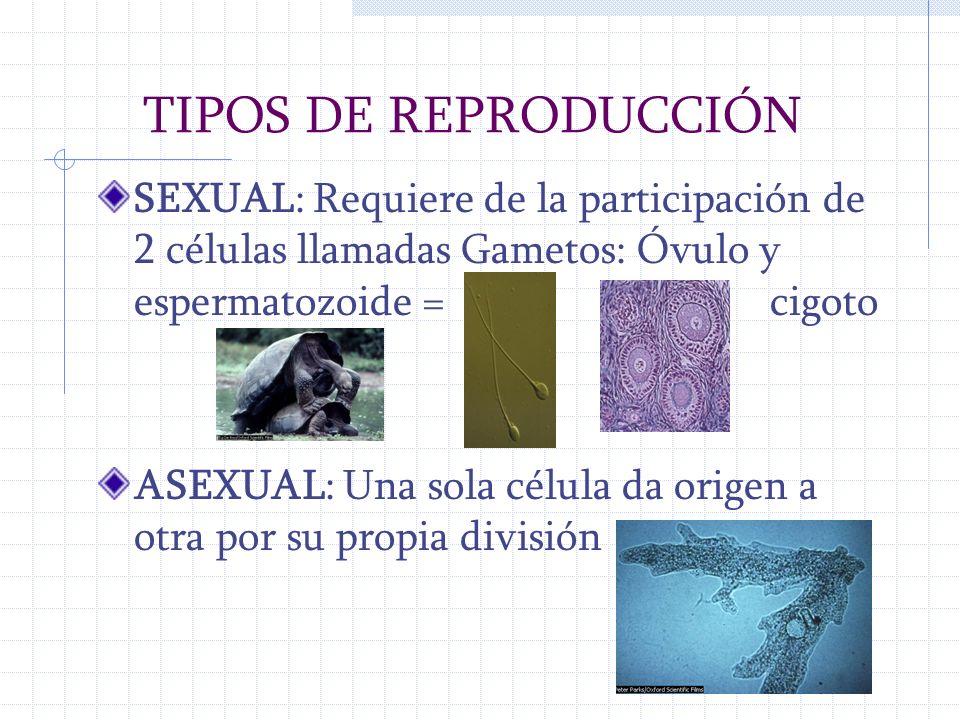 TIPOS DE REPRODUCCIÓN SEXUAL: Requiere de la participación de 2 células llamadas Gametos: Óvulo y espermatozoide = cigoto.
