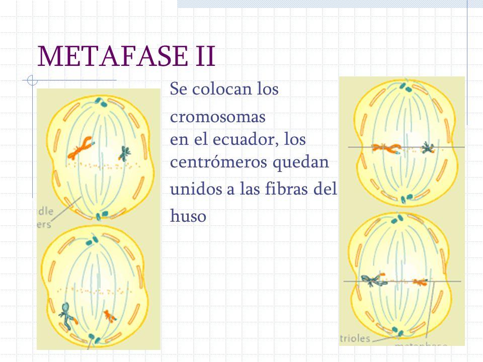 METAFASE II Se colocan los