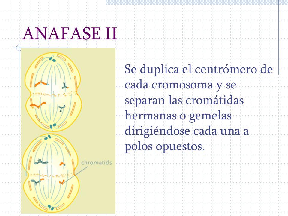 ANAFASE II