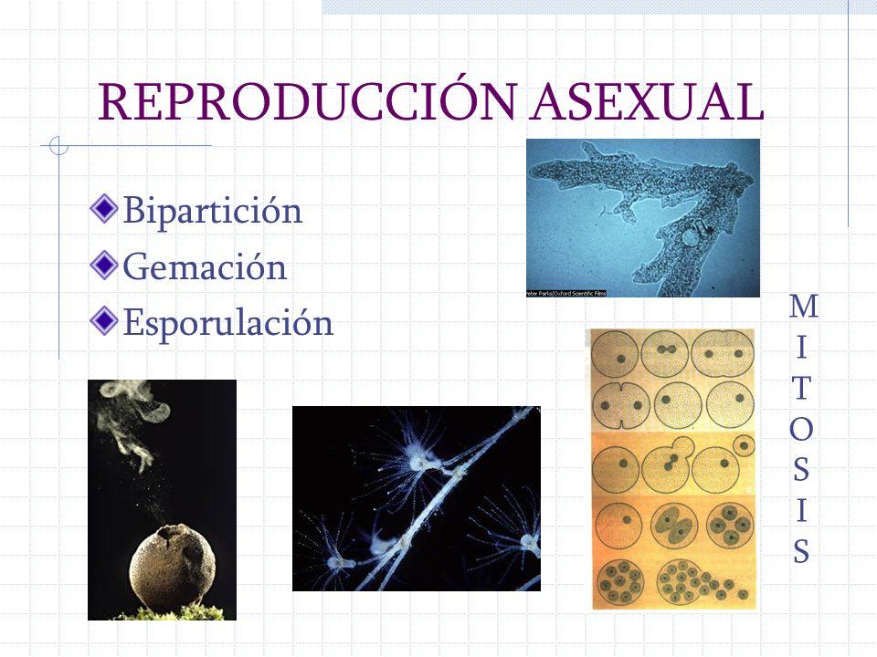 REPRODUCCIÓN ASEXUAL Bipartición Gemación Esporulación MITOSIS