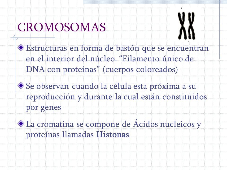 CROMOSOMAS Estructuras en forma de bastón que se encuentran en el interior del núcleo. Filamento único de DNA con proteínas (cuerpos coloreados)