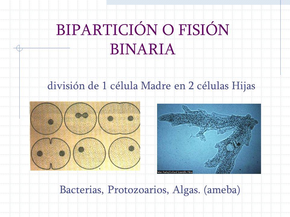 BIPARTICIÓN O FISIÓN BINARIA