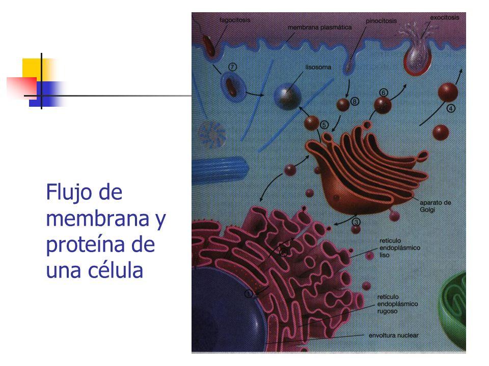 Flujo de membrana y proteína de una célula