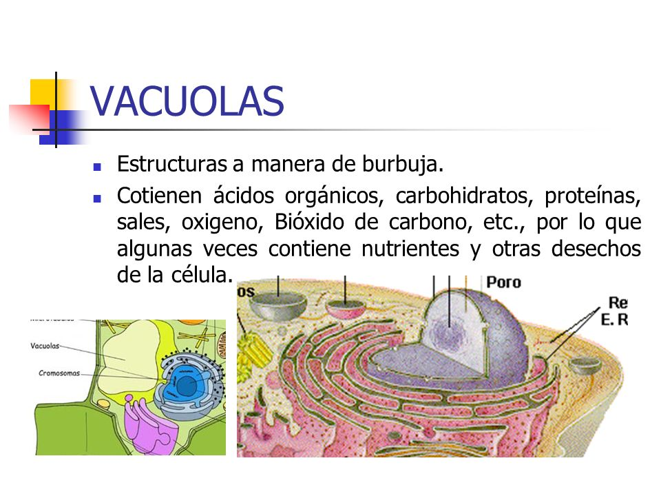 VACUOLAS Estructuras a manera de burbuja.
