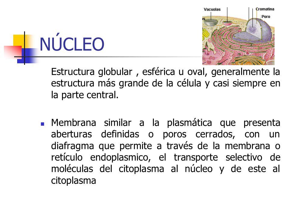NÚCLEO Estructura globular , esférica u oval, generalmente la estructura más grande de la célula y casi siempre en la parte central.