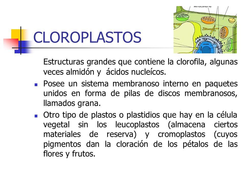 CLOROPLASTOS Estructuras grandes que contiene la clorofila, algunas veces almidón y ácidos nucleícos.